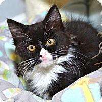 Adopt A Pet :: Trinket - Davis, CA