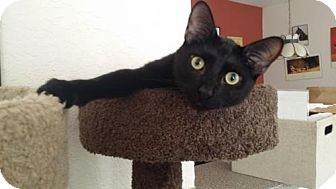 Domestic Shorthair Cat for adoption in Apopka, Florida - Batman