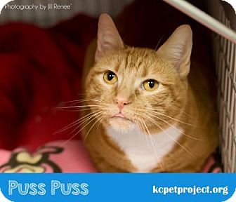 Domestic Shorthair Cat for adoption in Kansas City, Missouri - Puss Puss