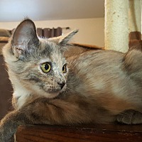 Domestic Shorthair Kitten for adoption in Yuma, Arizona - Debi-Dee (DD)