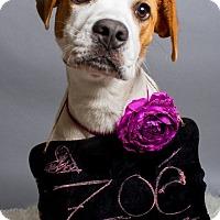 Adopt A Pet :: Zoe - Jacksonville, NC