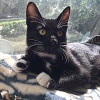 Domestic Shorthair Kitten for adoption in Fullerton, California - Edwina