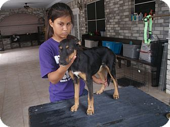 German Shepherd Dog/Doberman Pinscher Mix Puppy for adoption in San Antonio, Texas - Lola