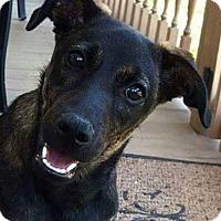 Labrador Retriever/Jack Russell Terrier Mix Dog for adoption in Smithfield, Pennsylvania - BINKS