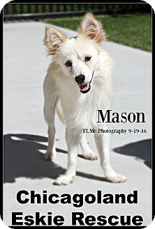 Spitz (Unknown Type, Small) Mix Dog for adoption in Elmhurst, Illinois - Mason