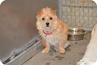 Terrier (Unknown Type, Small) Mix Dog for adoption in Van Nuys, California - Shelby