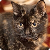 Adopt A Pet :: Mabel the Sweetest Tortie - Brooklyn, NY