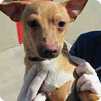 Adopt A Pet :: Smalls - Only $75 adoption!!! - Litchfield Park, AZ