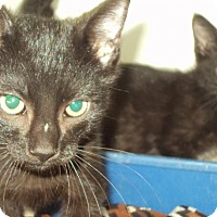 Adopt A Pet :: 2 kittens - Mt. Vernon, IL