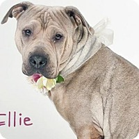 Shar Pei Mix Dog for adoption in Sacramento, California - *ELLIE