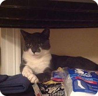 Domestic Shorthair Cat for adoption in Acushnet, Massachusetts - Mr. Butts
