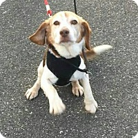 Beagle Dog for adoption in Freeport, New York - Linus