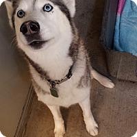 Adopt A Pet :: Kaiba - Westminster, CA