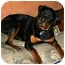 Photo 1 - Rottweiler Dog for adoption in Chandler, Indiana - Tango
