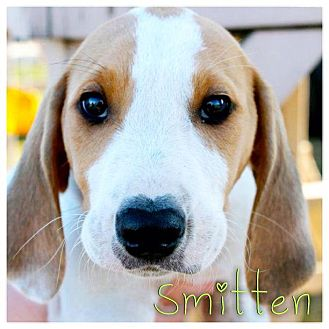Coonhound Mix Puppy for adoption in Garden City, Michigan - Smitten