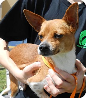 Chihuahua Mix Dog for adoption in Gainesville, Florida - Arty