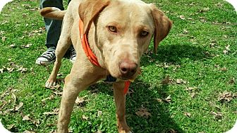 Labrador Retriever/Weimaraner Mix Dog for adoption in Marietta, Georgia - Bowser