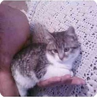Adopt A Pet :: Kitty-Kat - Washington Terrace, UT