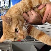 Adopt A Pet :: Beastie - Gilbert, AZ