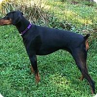 Adopt A Pet :: Rumer - Arlington, VA
