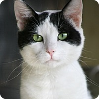 Adopt A Pet :: Mr. Pibbs - North Fort Myers, FL