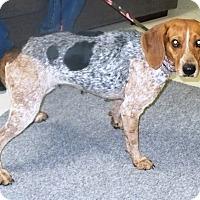 Bluetick Coonhound/Beagle Mix Dog for adoption in Eastpoint, Florida - Marsha