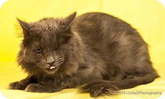 Domestic Longhair Cat for adoption in Las Vegas, Nevada - Dawson