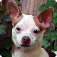 Adopt A Pet :: Bambino - Bridgeton, MO
