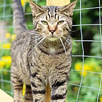 Domestic Shorthair Cat for adoption in San Antonio, Texas - Jeffrey