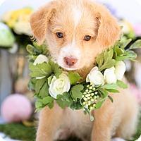 Adopt A Pet :: Norman - Auburn, CA