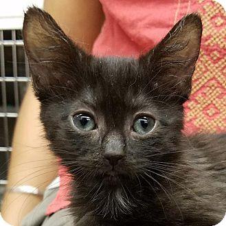 Domestic Shorthair Kitten for adoption in New York, New York - Mischa