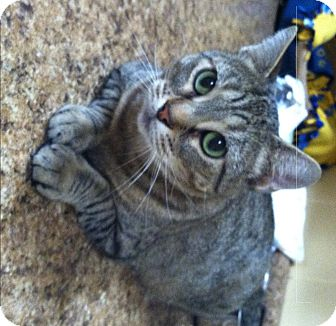 Domestic Shorthair Cat for adoption in Huntsville, Alabama - Poke-AH-Dot