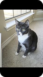 Domestic Shorthair Cat for adoption in Fort Worth, Texas - Figaro
