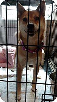 Shiba Inu Dog for adoption in Hanna City, Illinois - Foxy