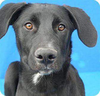 Labrador Retriever Mix Puppy for adoption in Pagosa Springs, Colorado - Punkin