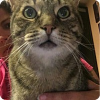 Domestic Shorthair Cat for adoption in York County, Pennsylvania - Buster