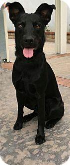 German Shepherd Dog Mix Dog for adoption in Van Nuys, California - Shadow