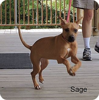 Boxer Mix Puppy for adoption in Slidell, Louisiana - Sage