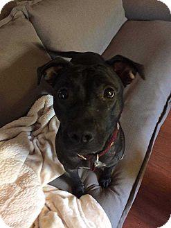 Staffordshire Bull Terrier/Labrador Retriever Mix Dog for adoption in Allen, Texas - Jolieh