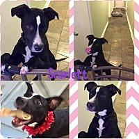 Boxer/Springer Spaniel Mix Puppy for adoption in Brattleboro, Vermont - CHARLOTTE