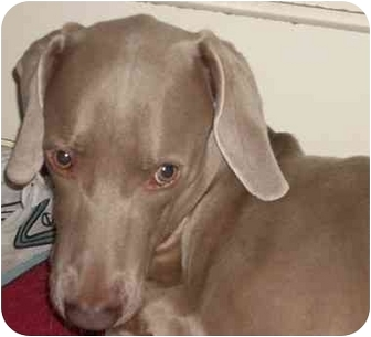 Weimaraner Dog for adoption in Attica, New York - Obie