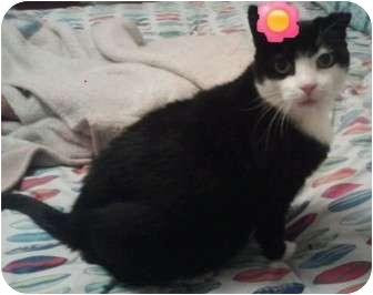 Domestic Shorthair Cat for adoption in Catasauqua, Pennsylvania - Tara