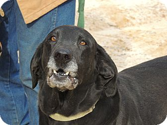 Labrador Retriever/Hound (Unknown Type) Mix Dog for adoption in Washington, D.C. - Elvis Reduced