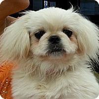 Adopt A Pet :: Marshmallow - Orlando, FL