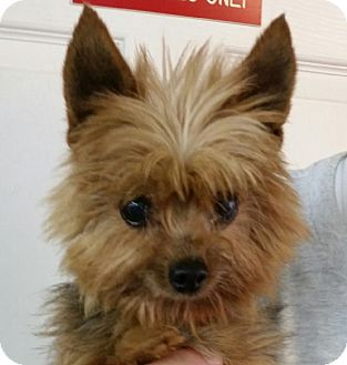 yorkie rescue kentucky lexington ky yorkie yorkshire terrier mix meet duffy 2097