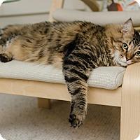 Adopt A Pet :: NIKON - Phoenix, AZ