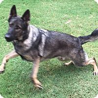 Adopt A Pet :: WORKING LINES GSD. Blue - Phoenix, AZ