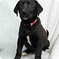 Adopt A Pet :: Derrick - Westminster, CO