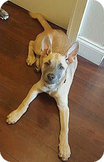 Shepherd (Unknown Type) Mix Puppy for adoption in Lithia, Florida - Stella - 16
