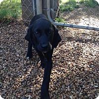 Adopt A Pet :: Paprika - Fayetteville, AR